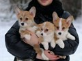 We are looking for good a homes for our 11 weeks old Pembroke Welsh Corgi puppies They get along wi