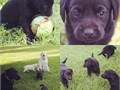 AKC Registered LAB Puppies from championship British bloodlines from proven Dam and Sire   Black ma