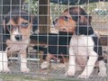 6 week old tri colored beagles 2 males 2 females available No papers 6000  803-640-5628 leave me