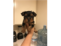 8 week old little yorkie female Will come with her first set of shots and deworming Potty training