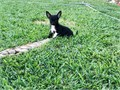 AKC Beautiful Chihuahua female pup Black with with markings on legs UTD on vaccines and worming R