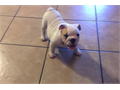 Our beautiful bulldog puppy We have more than 15 years of experience with this breed and we have be