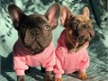 I have a litter of AKC french bull digs puppies they will come with a health guarantee and will be