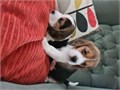 Quality beagle pups Mum family pet Best forever homes wanted Will be microchipped wormed Akc re