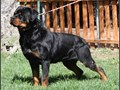 Pure bred rottweiler puppies for sale Both parents are imported from Germany Father is Gero Von De