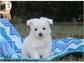 Small and cute is what Isabella is all about This lively Maltese puppy is vet checked up to date o