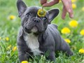 Lovely French bulldog We still have the male and female Frenchie available now for good family home
