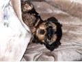 Quality Female and Male Yorkie Puppies available for Sale Our puppies will be coming along with