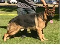 Black and Red AKC German Shepherd for stud service  For serious inquiry please contact 323-546-226