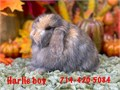 8 week old Holland lop baby bunnies very friendly they are a dwarf breed only weighing 3-4 lbs ful