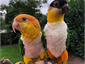 Sweet  playful parrots for adoption They are 30 weeks old and havethis outgoing characteristic o