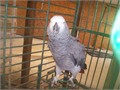 Our African grey babies are very sweet enjoy being with their humans and are well socialised we of
