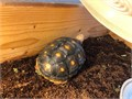 A 2 year old red foot tortoise Well took care of but only selling because Im going into the army