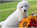 Golden Retriever puppies ready to govery smart they have their shot and are wormed potty trained p