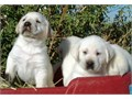 White Lab Puppies Big Beautiful English Blockheads Purebred w papers They are raised in our home
