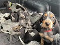 Cute redbone and blue thick coonhound puppies looking for good homes