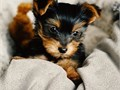 Hello we have male and female Toy Yorkie Available for adoption The male name is Rick The female