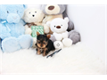 name Sunshine Teacup Yorkie FemaleDOB 11  03  2015estimated size 3-4poundsckc registere