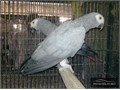 Hand-reared African Grey Parrots available now All my parrots are hand-reared from 3wks old and are