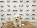 Mix Morkiepoo Female Small  155000 wwwpoochandgroomcom  310-350-3422