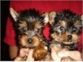 Male and female registered teacup yorkie puppies up for a good home They areb