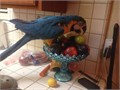 About ten years old Beautiful tame and healthy Blue and Gold  Cage included But bring your pet c