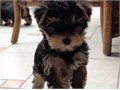 Two gorgeous Yorkie puppies available for adoption Male and FemaleThey are ready to become your li