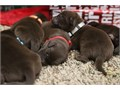 Rey had an all chocolate litter on September 8th 8 Males 4 Females 1 Female  3 Males already sol