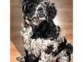 Sweet Aussiedoodle  pups are looking for a forever loving home  We only have 4 left nowCKC reg