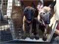 We have 9wk old male and female belgian malinois puppies that will make a great pet for protection s