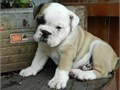 214 400-566 English bulldog belongs to my sister and I cant keep them They are 12 weeks  old C