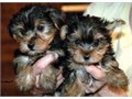 11 Week old yorkie male and FemaleRehoming fee appliesShots up to date Will come with shot rec