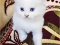 Beautiful male and female Persian kittens available to join new home They will be a wonderful compa