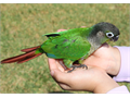 Baby Green Cheek Conure 3 Months Old Hand Fed  Hand Raised Tame  Very Friendly That Not Bite At
