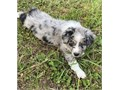 Australian Shepherd PupsThey are Akc registered and vet checked and will be coming with all papers