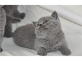 enjoyable British kittenAll kittens are raised in our home and are well socialized and handled da