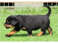10 weeks old Rottweiler puppies ready for adoption The puppies have been raised in a very calm envi
