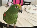 I have a 7 month old Amazon Parrots She is talking some She can be handled 5zero2598eight8thr