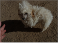 Toy poodle male tail and dew claws done parents AKC champion lines 550 without papers 750 with fu