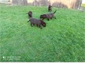 Beautiful girls and boy  retrieve labrador puppies looking best families They b