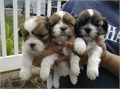 Adorable Shih Tzu pups available for adoption to new homes The pups come with AKC ltd registration