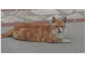 Cats LOST Orange and White Tabby named Tiger  Last seen on July 18th 2017  Tiger is microchipped