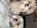 5 beautiful Shih Tzu Puppies looking for their forever home They are going for t