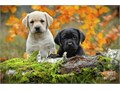I have a new litter of  Labrador Puppies Black color and white color available