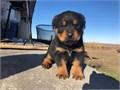 AKC Rottweiler female 6 weeks oldTail docked1st shot and dewormed1500 with limited registration