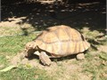 About five years old Healthy tortoise Not sexed but it shows the characteristics of a male