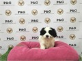Breed PomShi Pomeranian  Shihtzu MixNickname MarilynDOB February 29 2016Sex Female