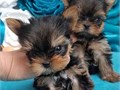 Absolutely Charming girl and boy Yorkie puppies with 5 generation pedigree one male and female avai