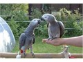 Hand reared african grey parrot available now male and female dna tested and Pbfd tested hand reare
