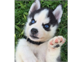 Mini pomsky puppies  husky  pomeranian  Blue eyes Ready for their forever homes Vaccinated and